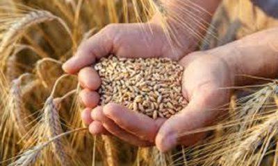 Producción de trigo boliviano