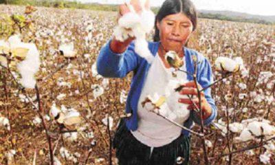 Producción de Algodón en Bolivia