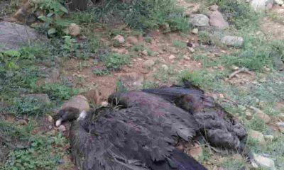 Cóndores muertos en la quebrada de tarija Bolivia