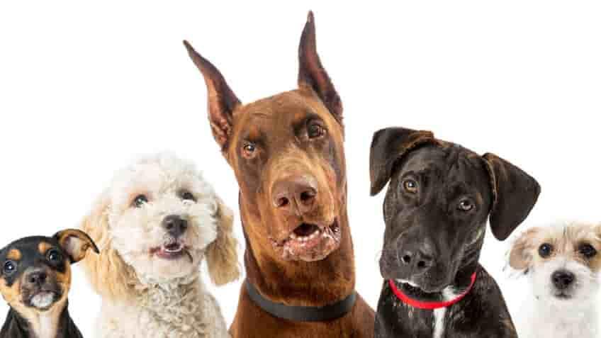 Odio de los perros, como escuchan