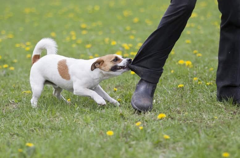 Rabia en canes