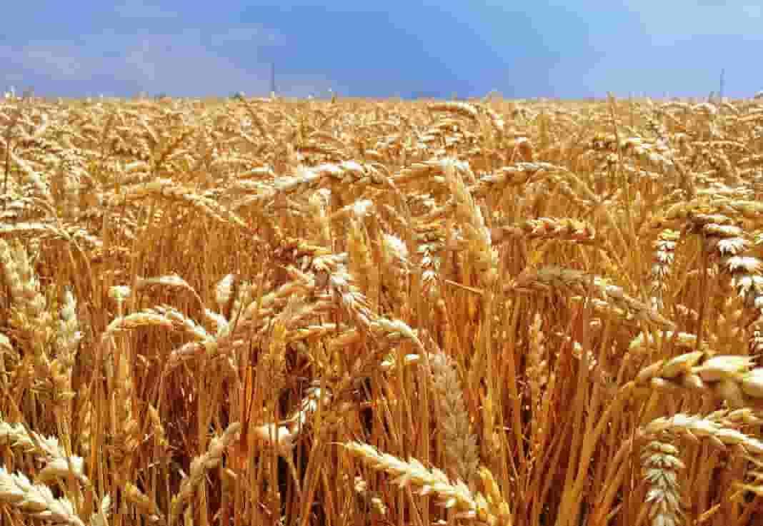 préstamo del Banco nación para productores de trigo y cebada